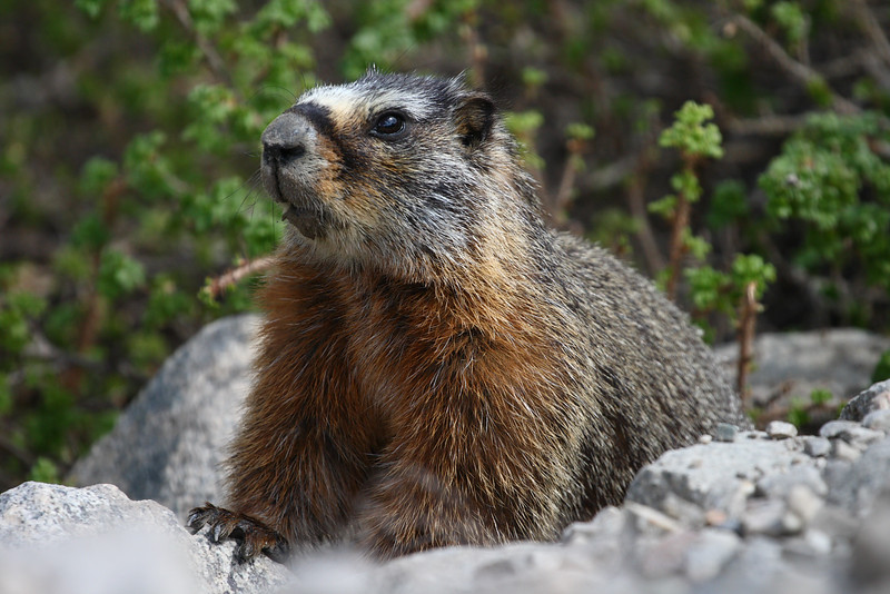 yellow-bellied marmot, Alta