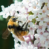 Bumblebee Gathering Nectar From the Lilacs
