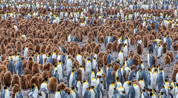 Holy Moley!! that's a lot of Penguins!!