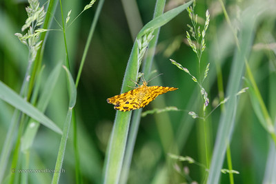 Pantherspanner (speckled yellow moth)