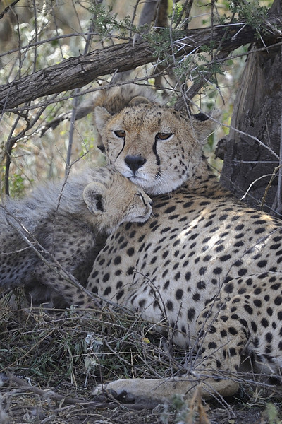 Cheetah and Cub Under An Acacia Tree in Ndutu Conservation Area, Serengeti, Tanzania, East Africa