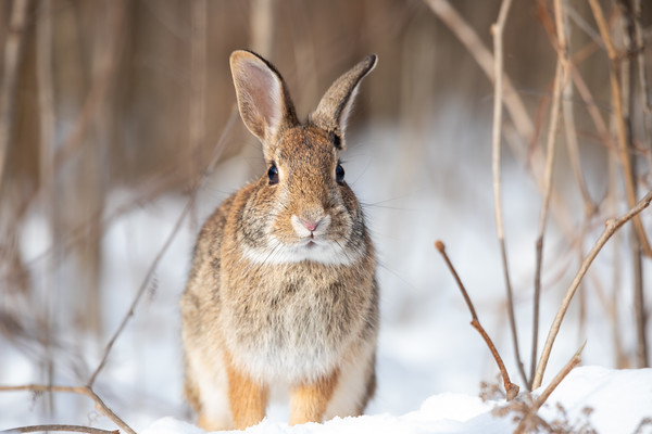 Eastern Cottontail Rabbit -4956