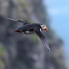 The Flying Puffin
