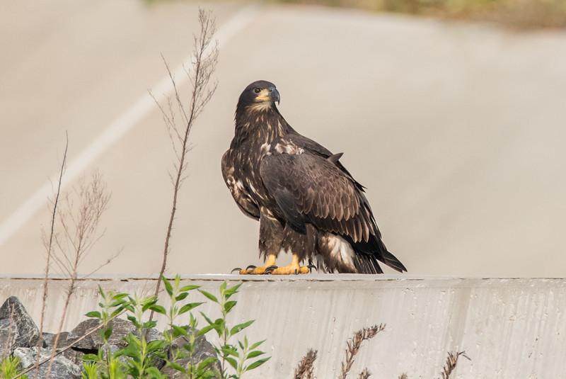 Juvenile Bald Eagle 6/22/16