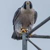 Pergrine Falcon 11/9/16