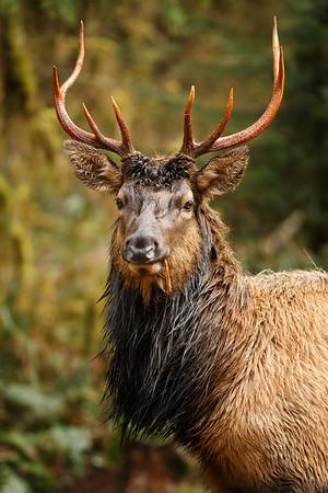 Elk, Hoh Rainforest, Olympic National Park