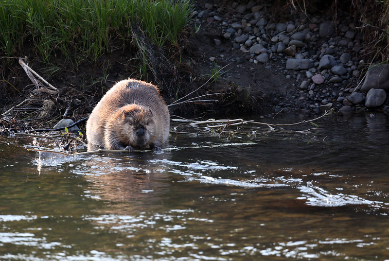 Beaver on Soda Butte Creek - Yellowstone National Park