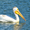 Pelican O' Pelican
