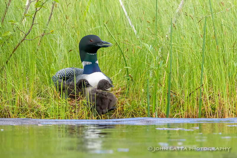 Female Loon and Chicks on Nest