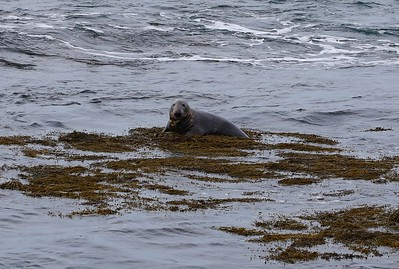 Grey Seal The Sound Isle of Man