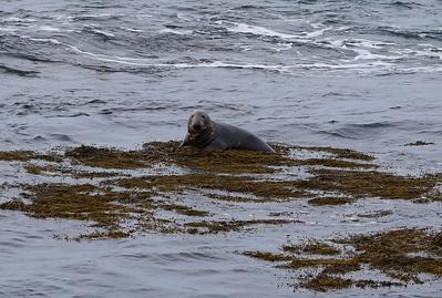 Grey Seal The Sound Isle of Man