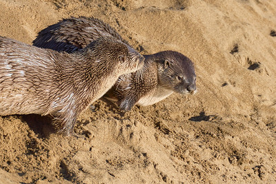 River Otters at Point Reyes