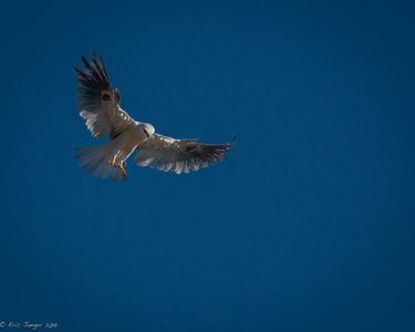 White-Tailed Kite Hunting