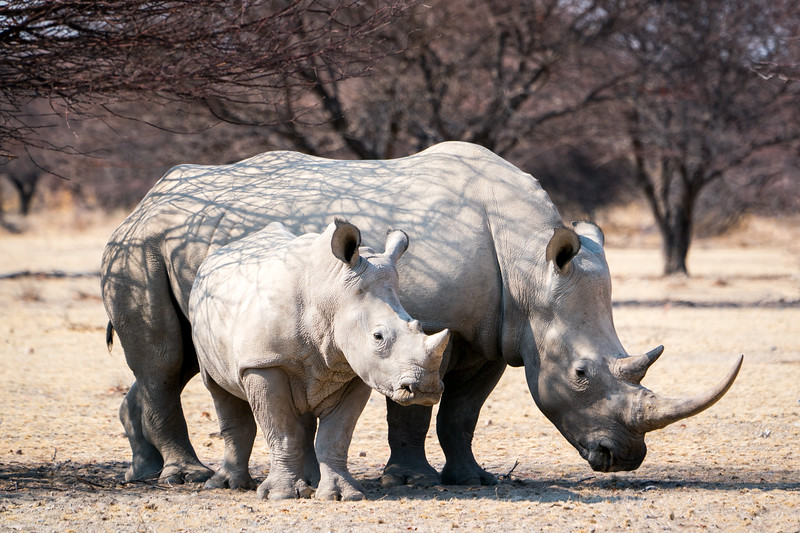 White Rhino mom and calf.
