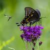 Spicebush Swallowtail Butterfly & Guest 8/16/16