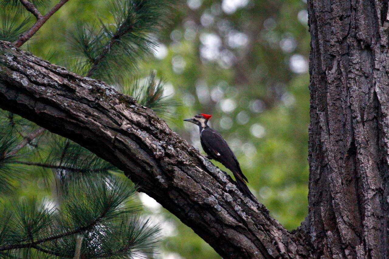 Pilleated Woodpecker - Mio, Michigan