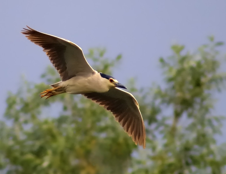 The Black-crowned Night-Heron Express
