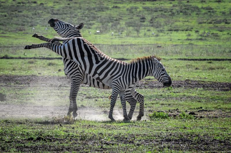 Zebra high kick, Ngorongoro Crater, Tanzania, East Africa