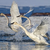 Trumpeter Swans Take to the Air