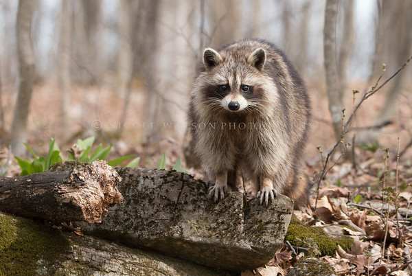 Raccoon  -2