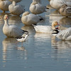 Black Neck Stilt & Snow Geese 2267