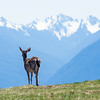 A blacktail deer stops to admire the view at Hurricane Ridge in Olympic National Park, US