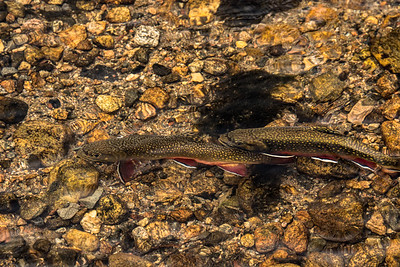 Rocky Mountain Rainbow Trout