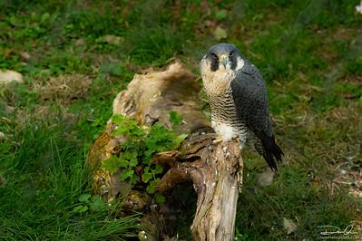 Falcon Stare