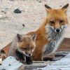 A Red Fox Kit & Mama 4/19/21
