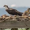Osprey with Chicks