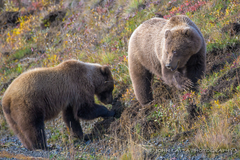 Grizzly Bears Digging for Tubers