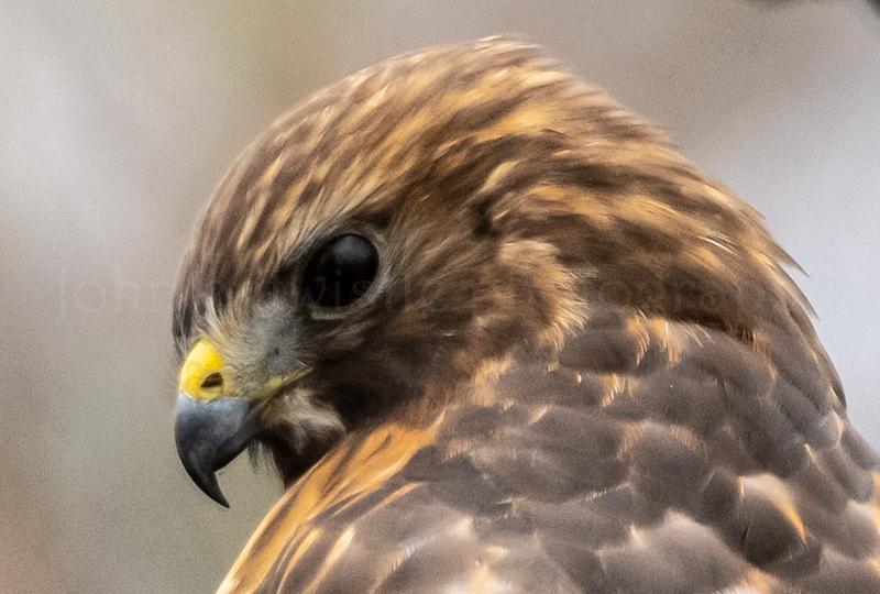 Close-Up of Red-Shouldered Hawk 3/1/19