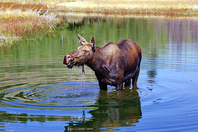 Teton Moose in Pond
