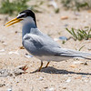 A Learn Tern with Chicks 6/15/16