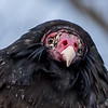 Turkey Vulture 12/11/16