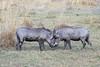 Warthog confrontation