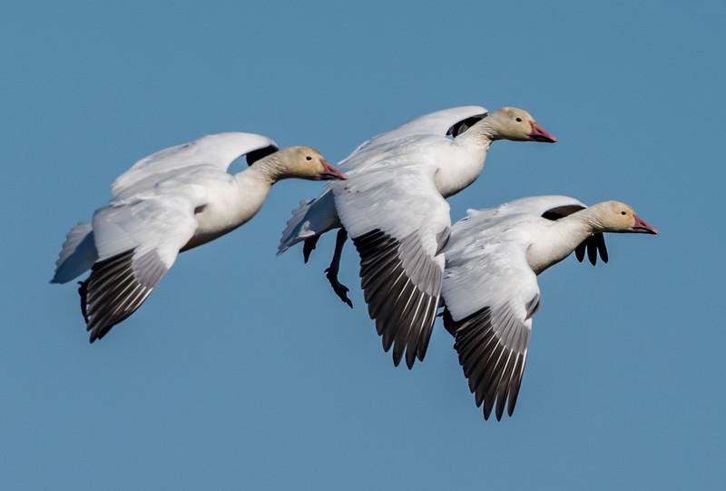 Snow Geese 2/27/18