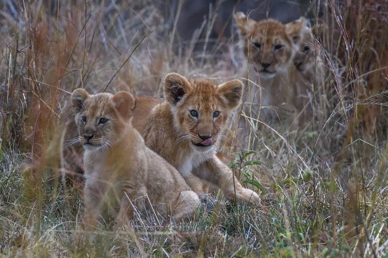 Lion cubs in the grass, Masai Mara, Kenya, East Africa