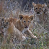 Lion cubs in the grass, Masai Mara, Kenya, East Africa