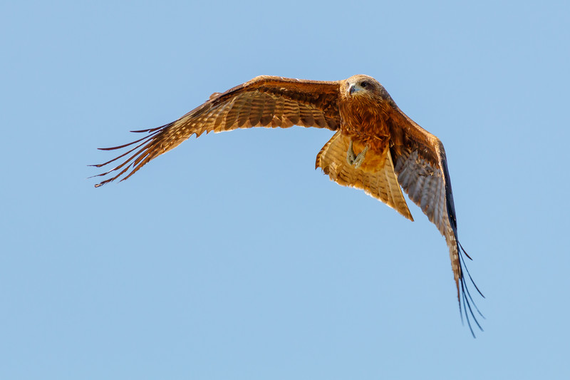 Black kite flying over Kyoto