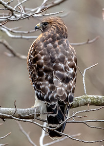 Red-Shouldered Hawk Perched on a Branch 2/20/19