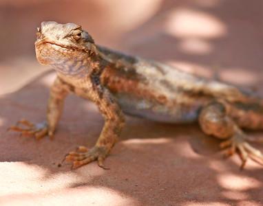 Lizard from Zion