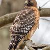Red-Shouldered Hawk 12/6/16
