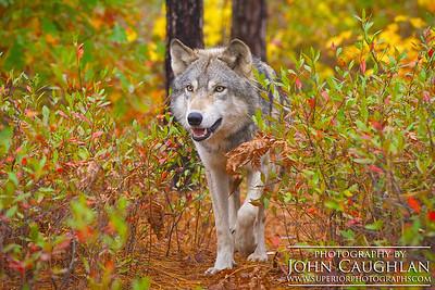 Wolves(fall4g)