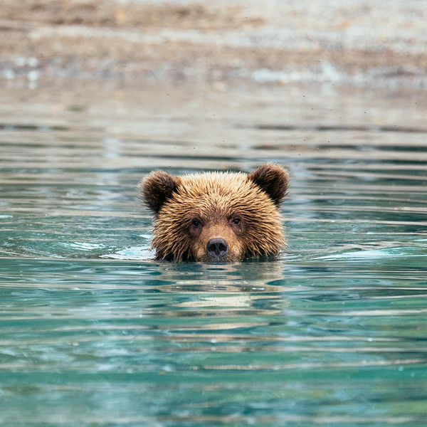 Brown bear cub in Lake Clark National Park, Alaska.