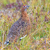 Male Willow Ptarmigan