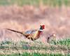 A Pair of Ringneck Pheasant in Breeding Plumage