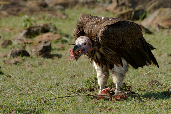 Hungry vulture