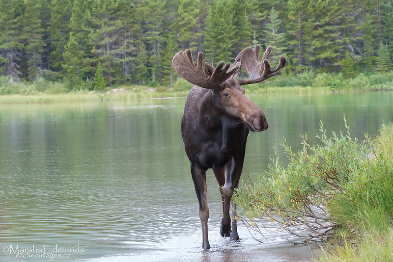 Bull Moose in his Habitat