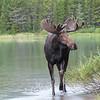 Bull Moose in his Habitat